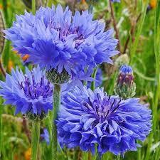 Bachelor Buttons (Centaurea)