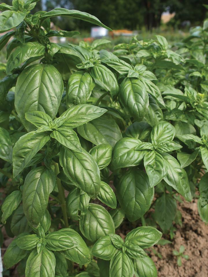 Basil, Green