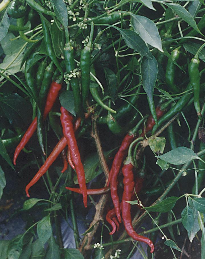 Pepper, Hot; Cayenne