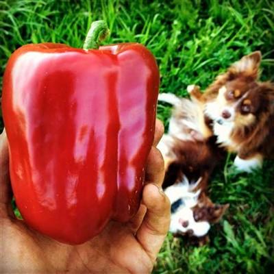 Pepper, Peacework Sweet