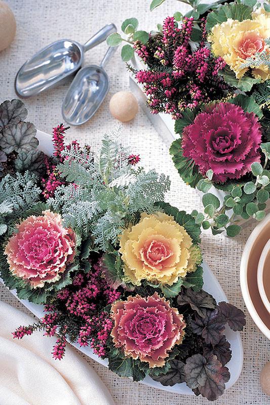 Flowering Kale - Songbird Formula Mix