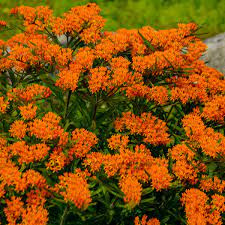 Aesclepias/ Butterfly Weed
