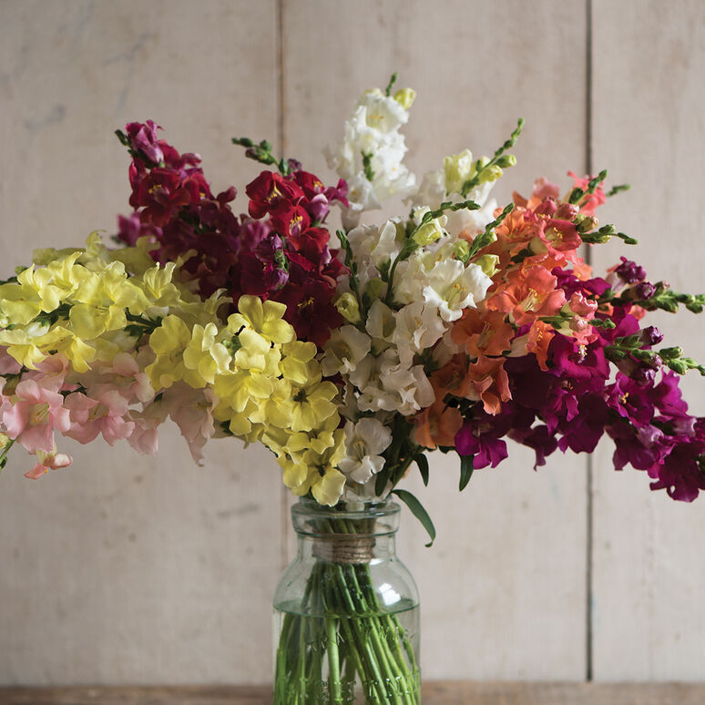 Snapdragons - Chantilly Mix