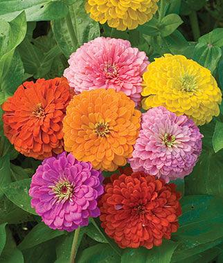 Zinnea - Giant Flowered Mix