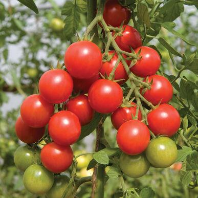 Cherry Tomato - Sakura