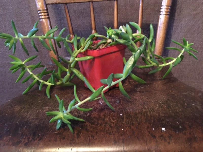 Sedum Rubrothinctum - Succulent
