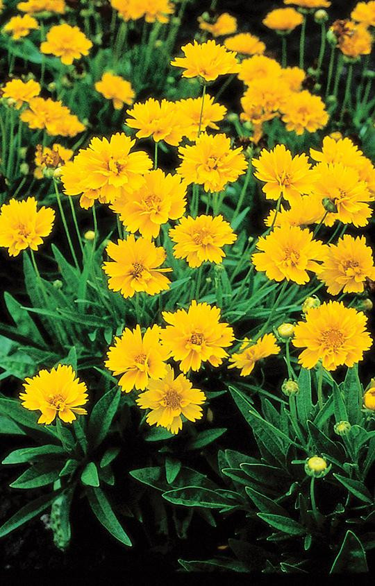 Coreopsis - Yellow perennial