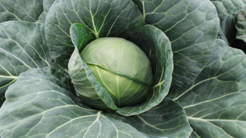 Cabbage - Early Green