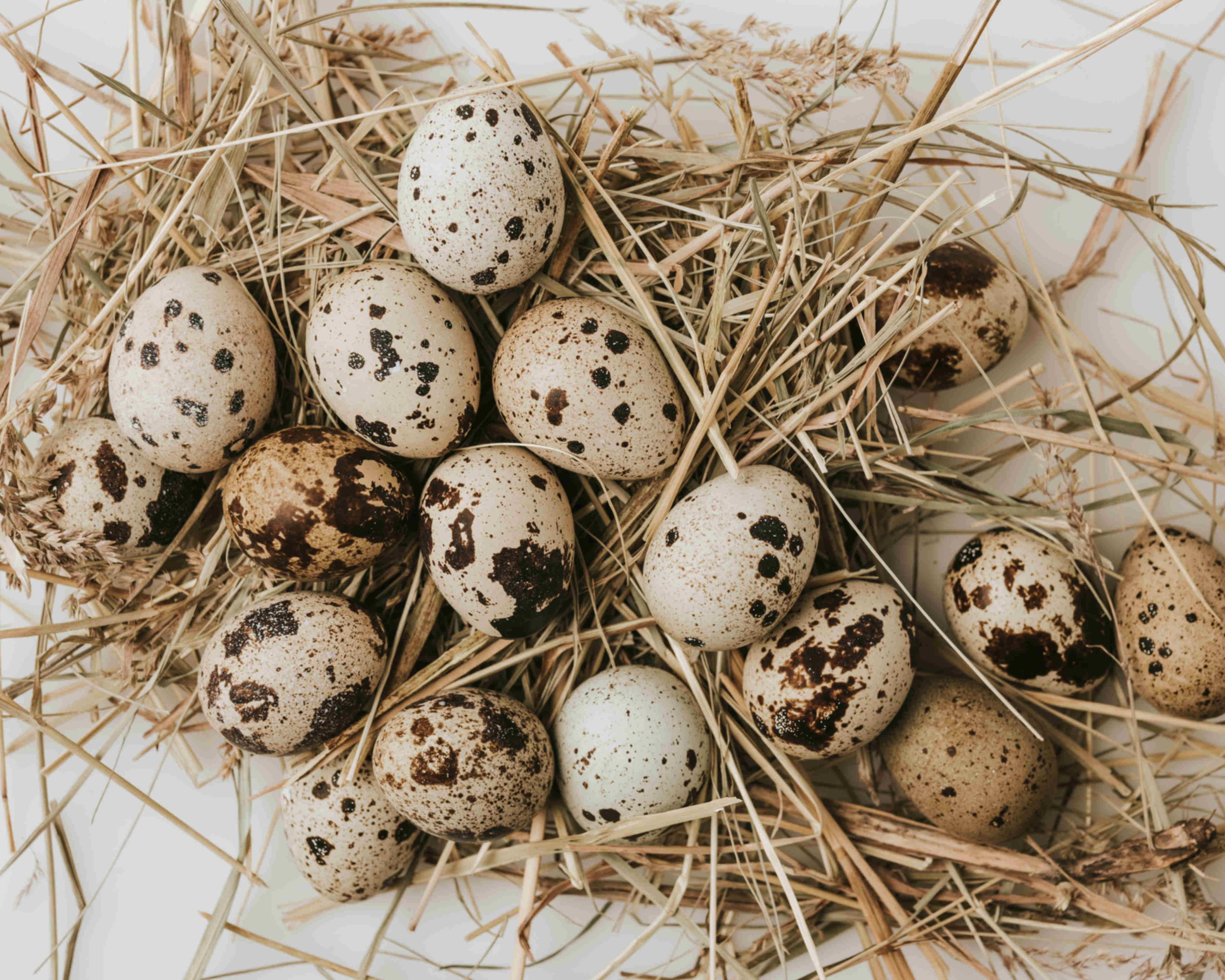 Quail eggs from James' flock