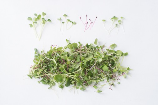 Black Pearl Gardens - Microgreens Spicy Mix