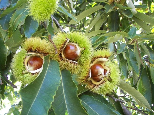 Chestnut Growers Inc.