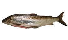 Michigan Whitefish, Whole