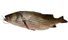 Wild Striped Bass, Fillet