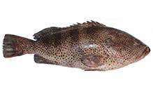 Red Grouper, Fillet