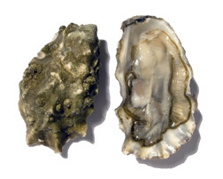 Penn Cove Oysters