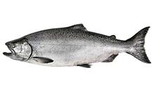 Wild King Salmon, Fillet