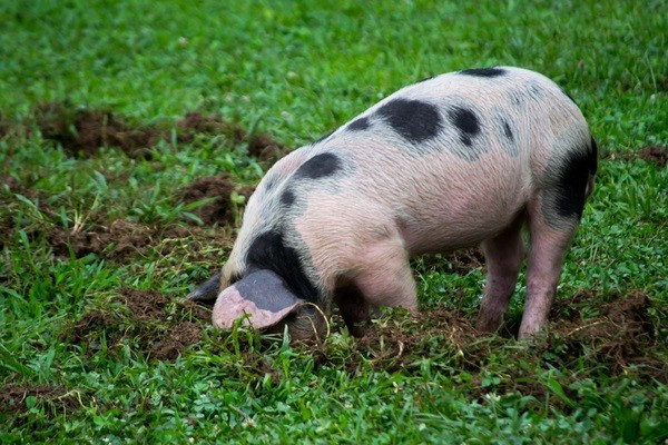 Michigan Farm to Family Pastured Pork from Yoder Amish Farms