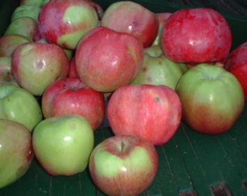 Almar Orchards -  Organic Northern Spy Apples