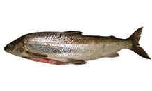 Michigan Whitefish, Whole