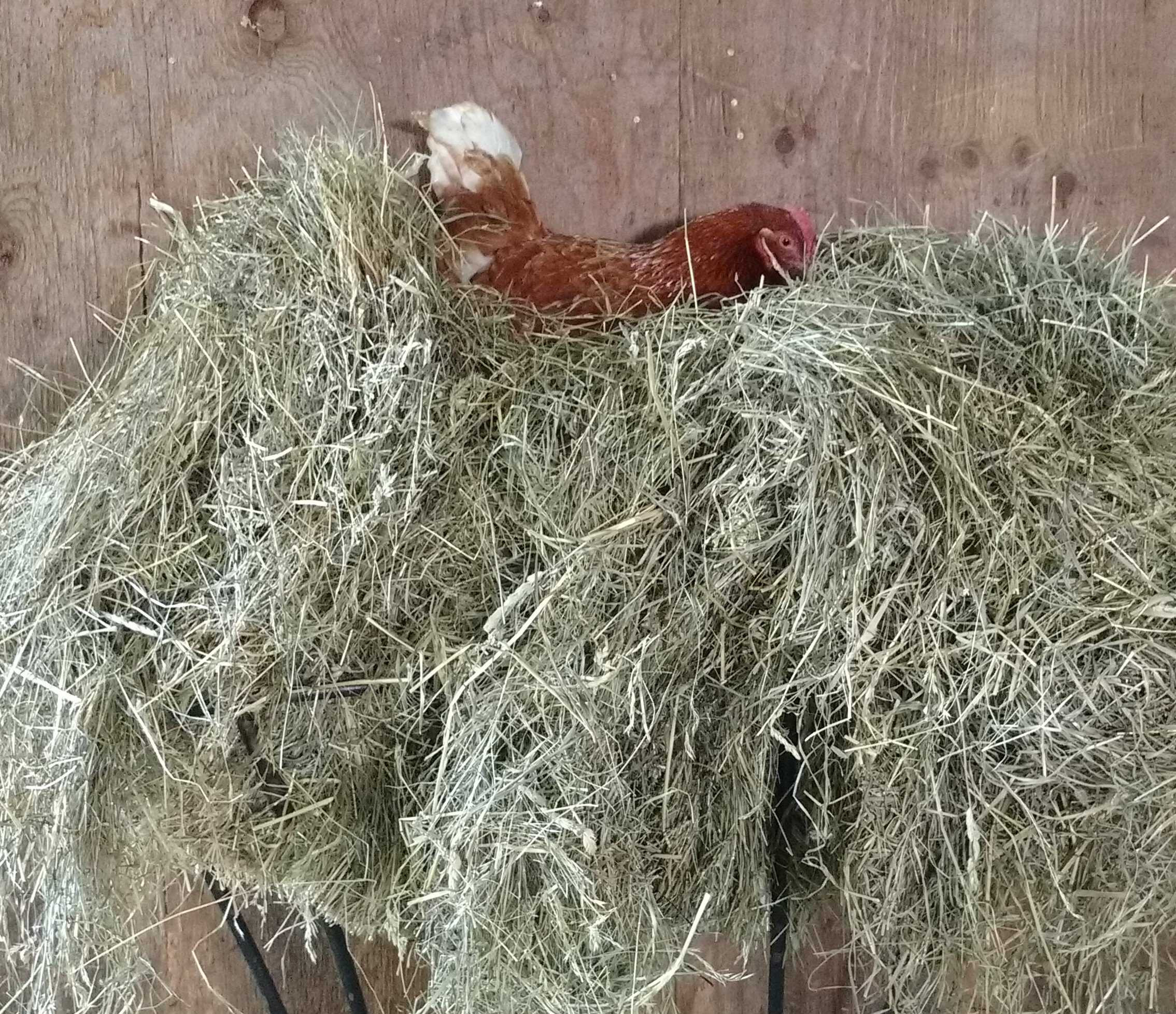 Roosting in the hay