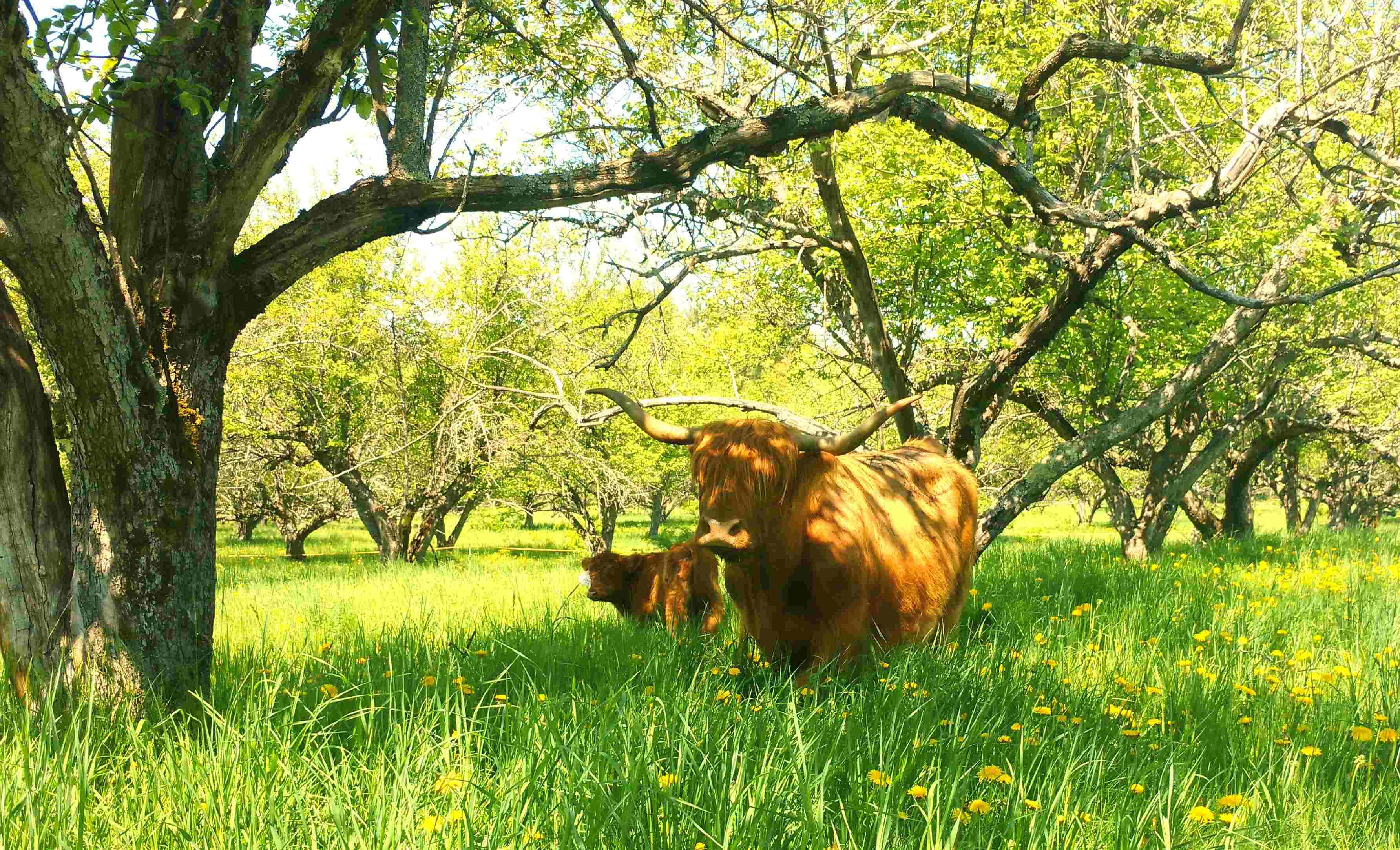Cow_InPixioSM.jpg