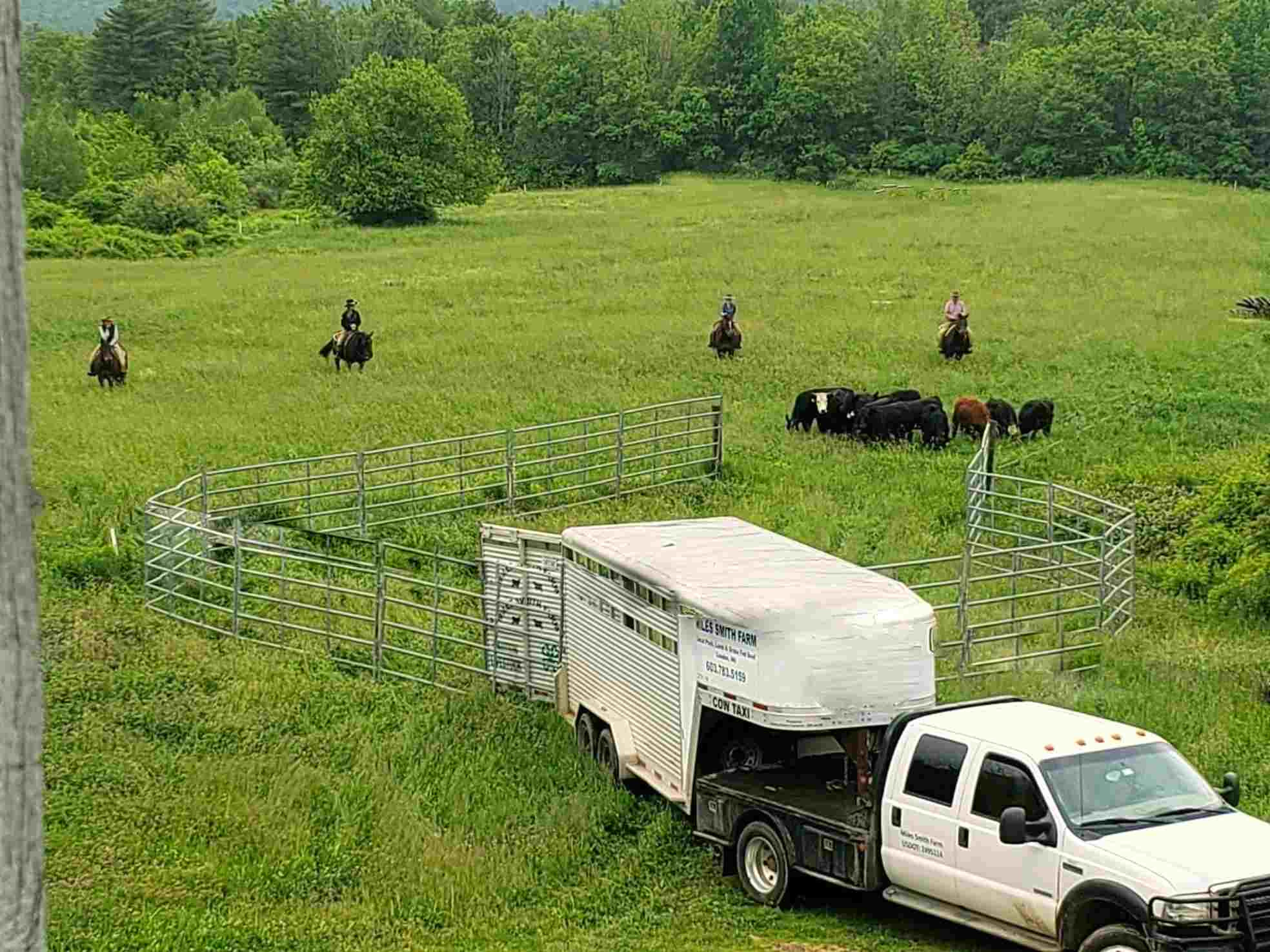 Capturing Cattle the Old-Fashioned Way