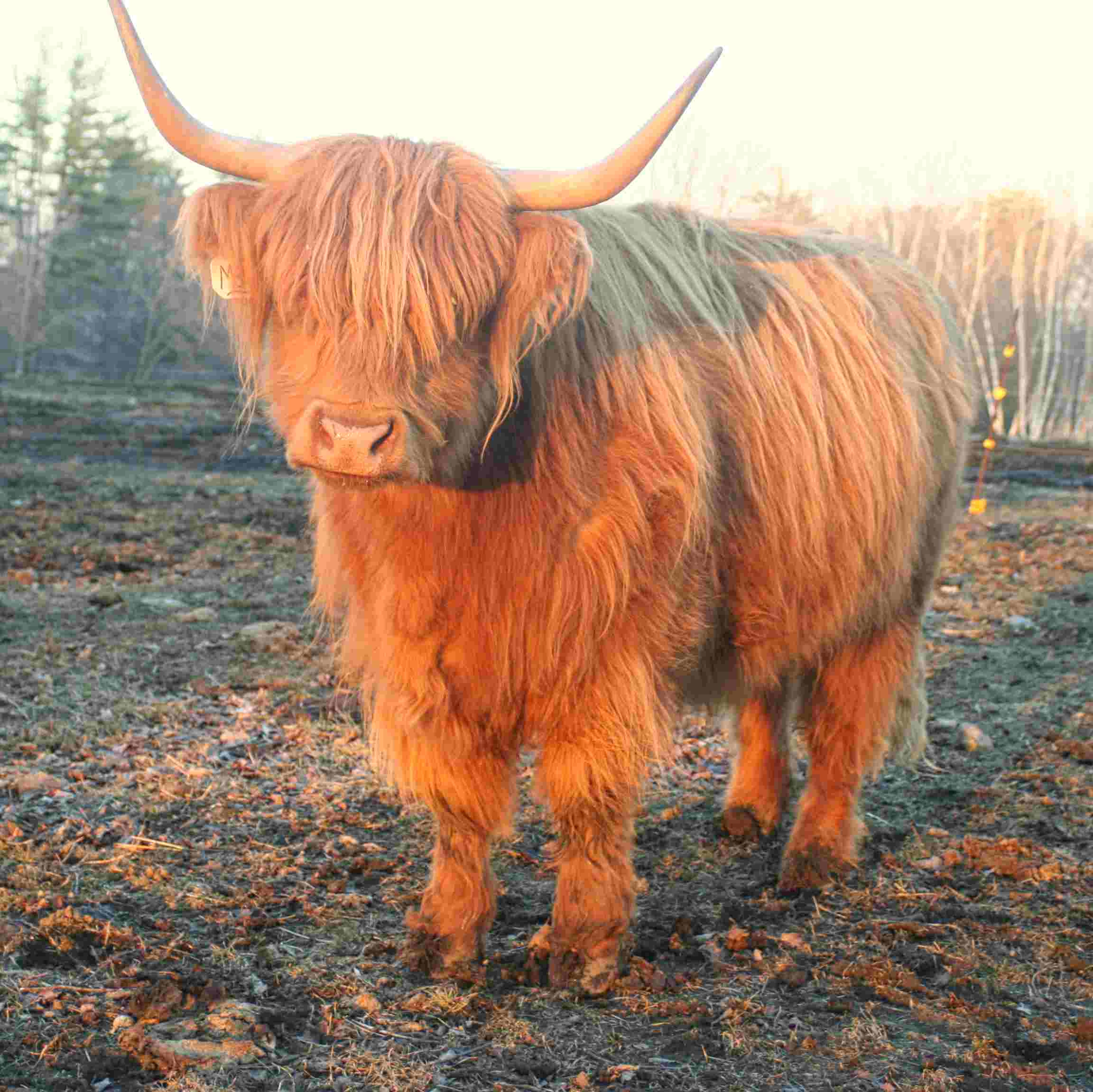 May - 5-year-old Scottish Highlander cow - $5000
