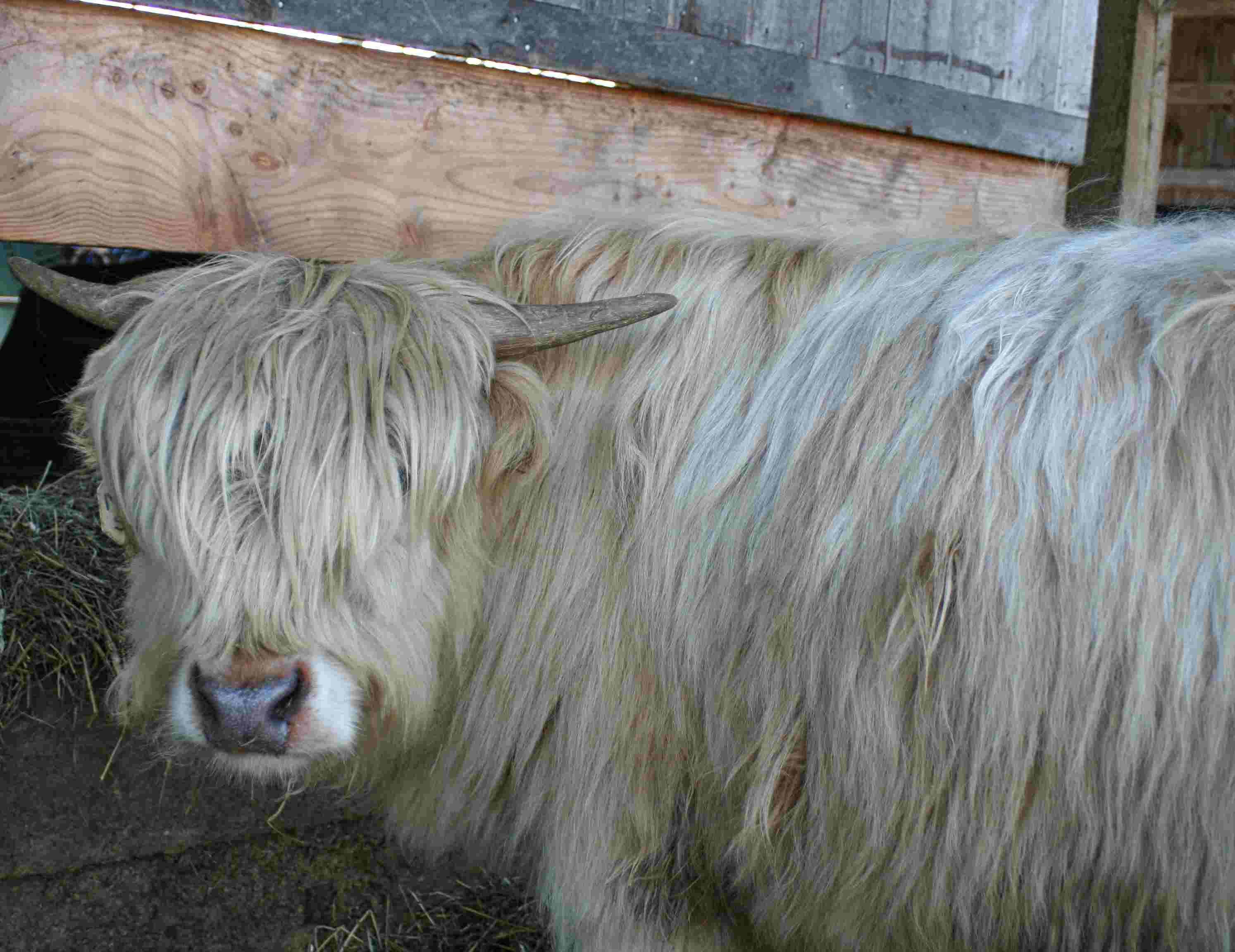 Murray Scott - 1 1/2-year-old Scottish Highlander Steer - $1500