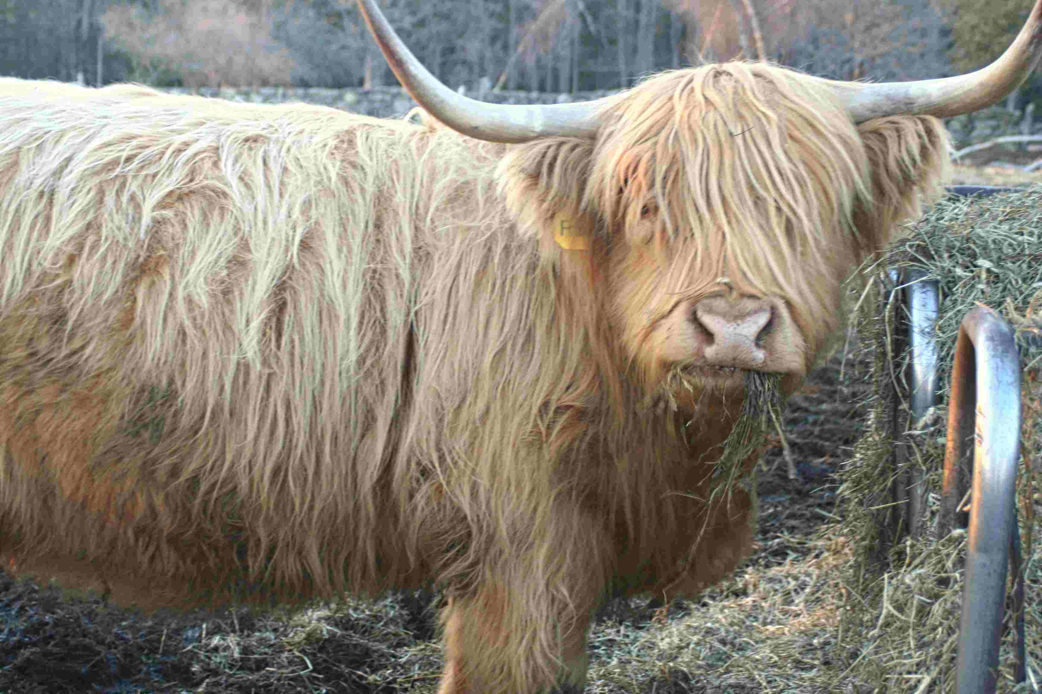 Francine's Calf - Due in May, 2021 - Heifer Calf will be $3400, Bull Calf will be $1900