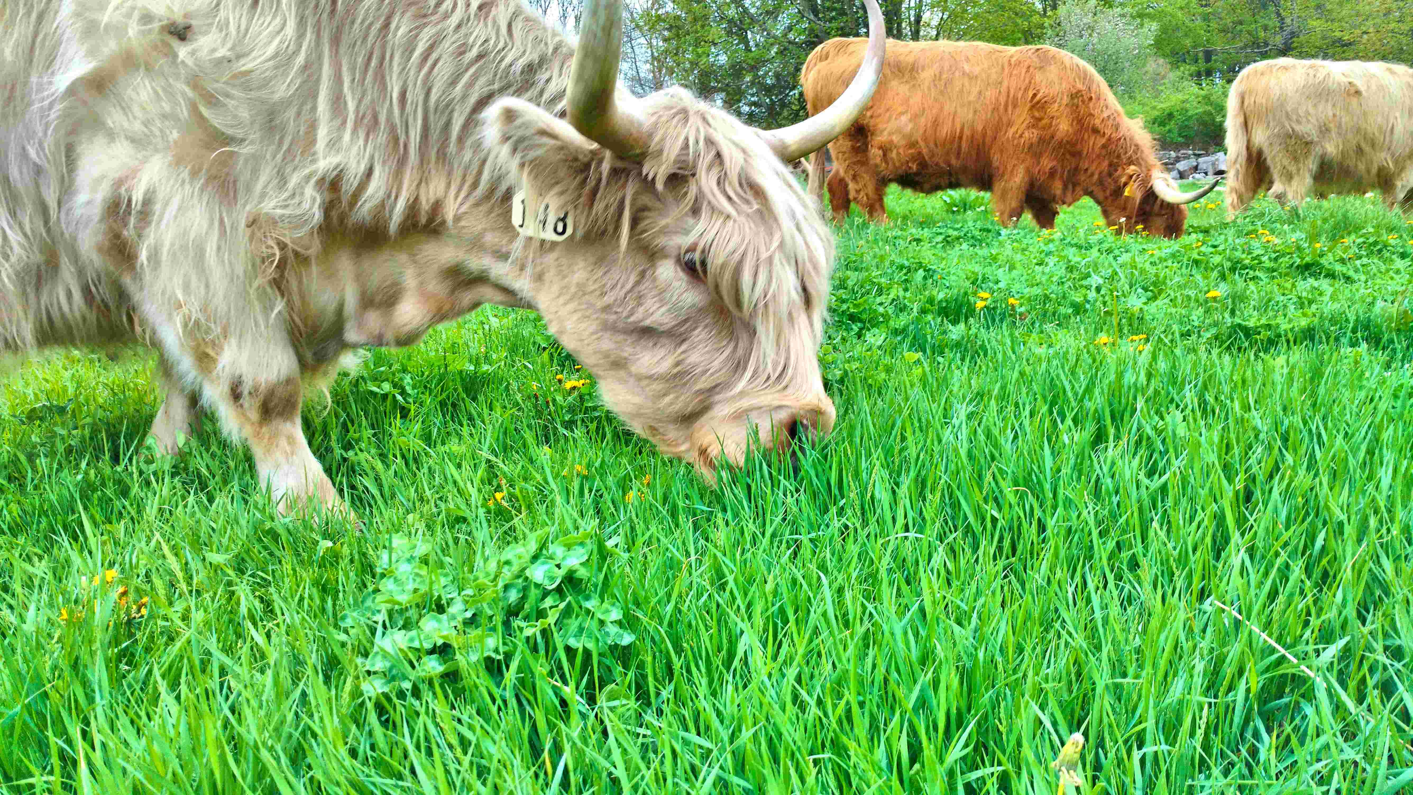 Cows Are Growing, So Is the Grass