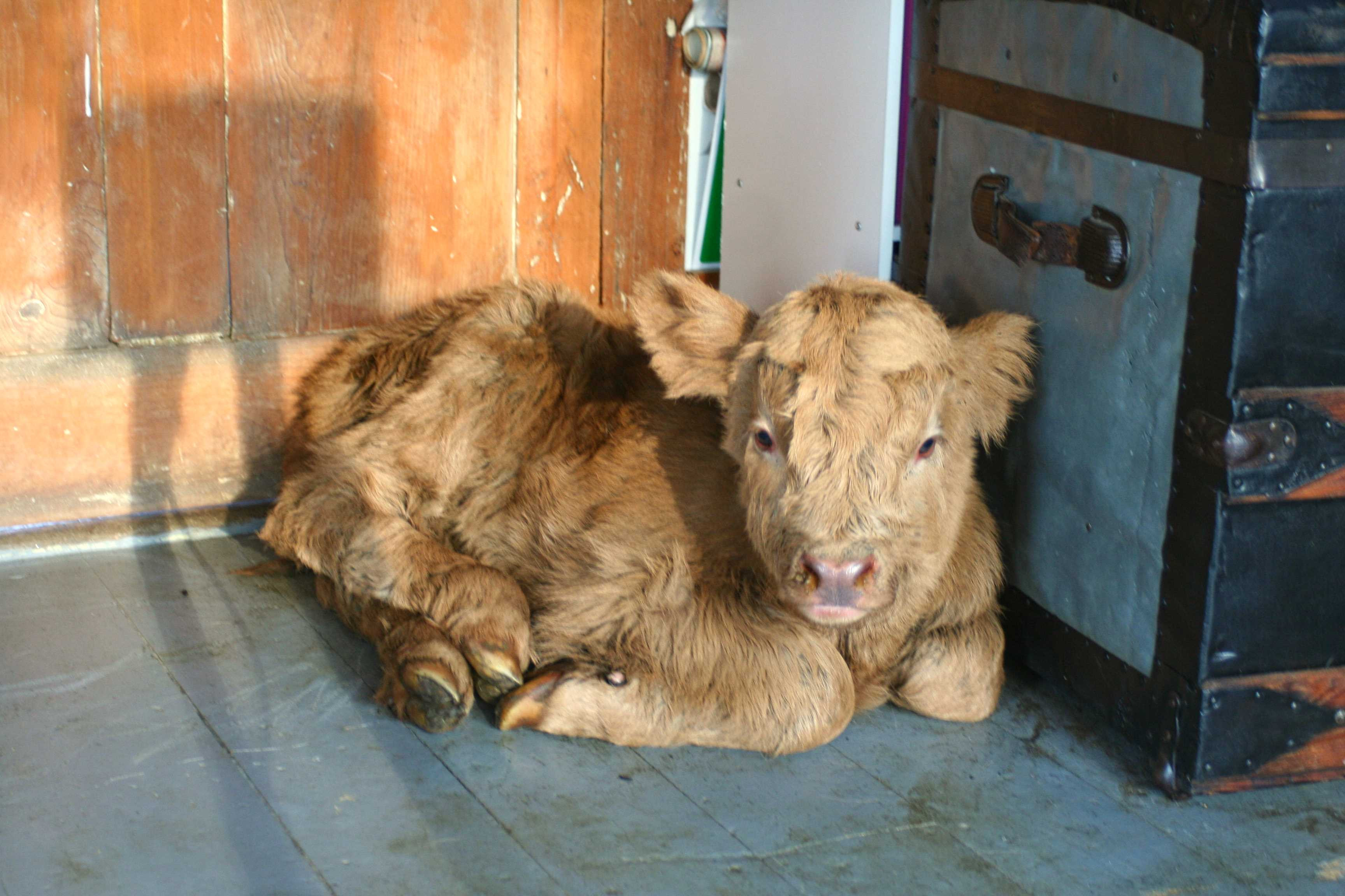 Calves of 2021