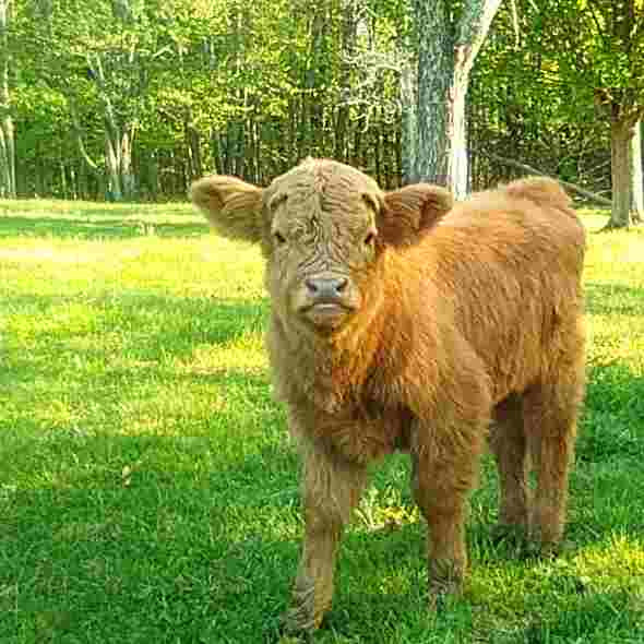 Ginger, born on May 1, is a registered Highland Heifer with amazing parents- $3200