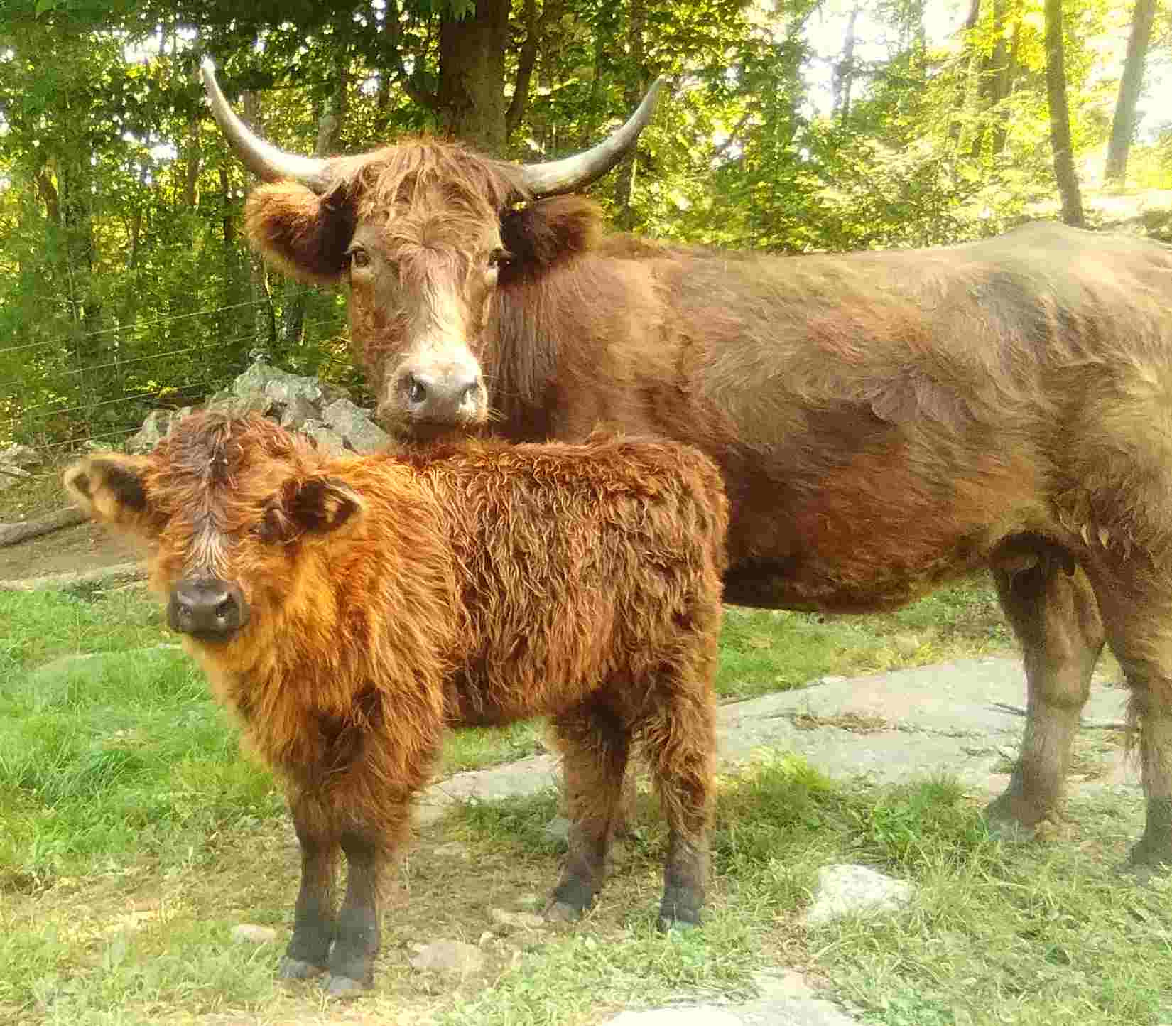 Elsie, a Highlander Pinzgauer Cross, pictured with her mother, born July 16, 2021, $2500