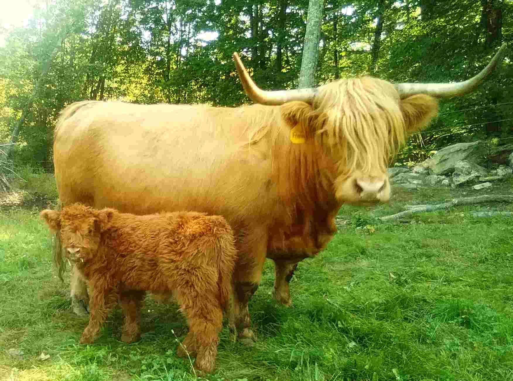 Mortimer, Scottish Highlander Bull Calf born 7/30/2021, pictured with his mother, Francine, $1900