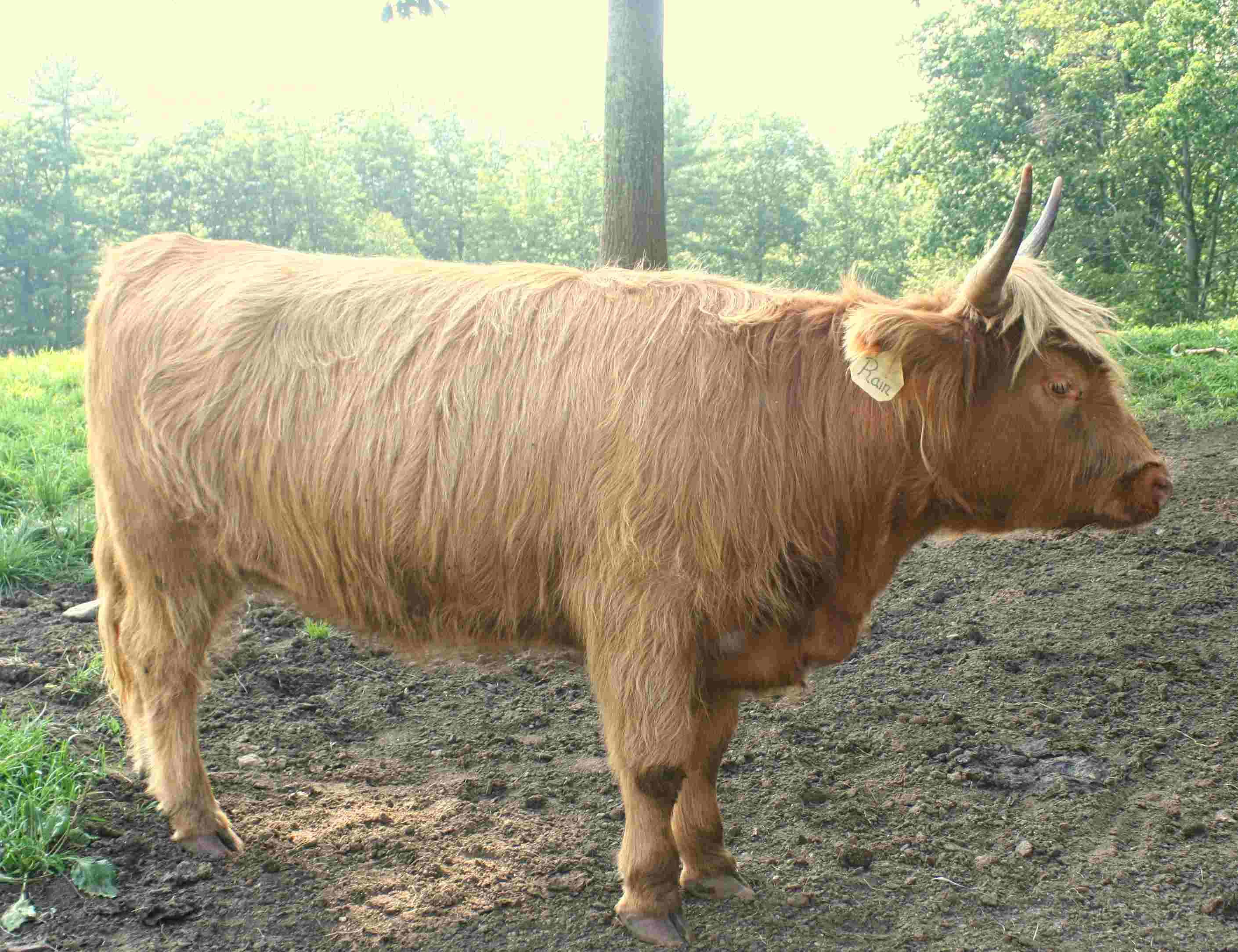 Rain, 2-Year-Old Registered Heifer, pregnant - $6200