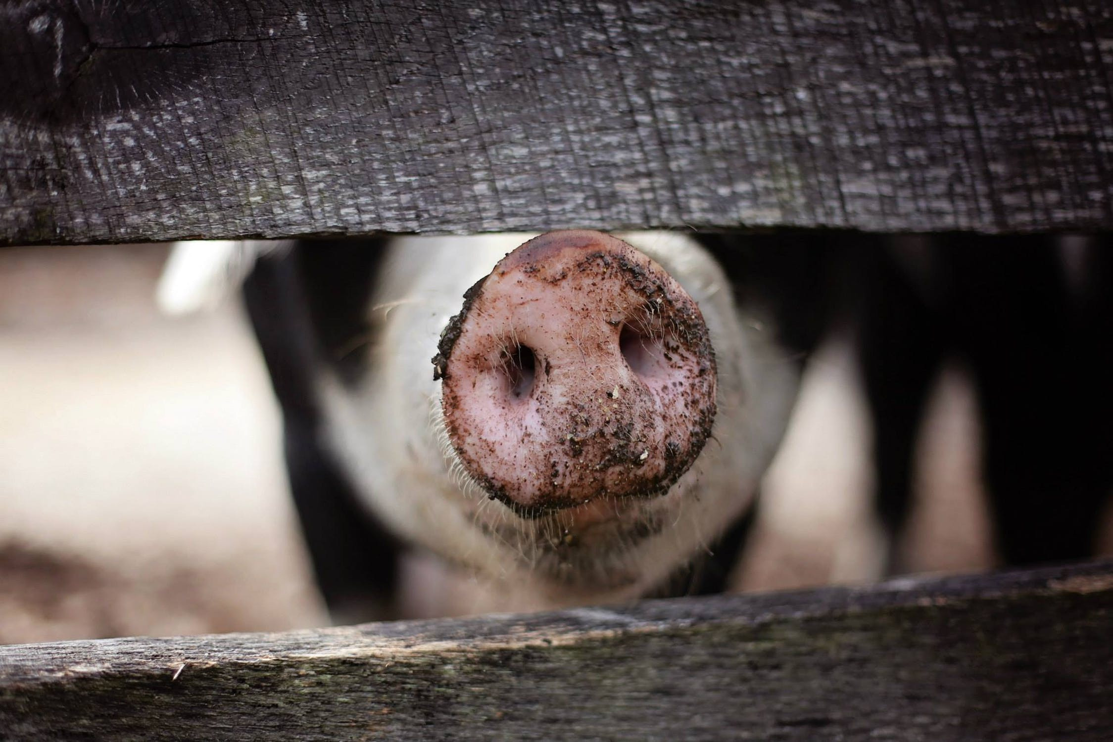 Why pigs are happy and healthy in the woods