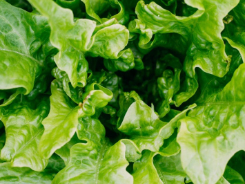 Green Leaf Lettuce, 1 head