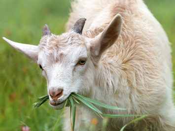 Goat Tongue