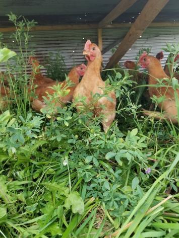 Pastured Chicken Deposit