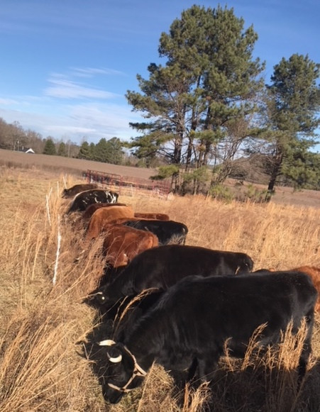 A closer look at our portable grass-fed dairy herd