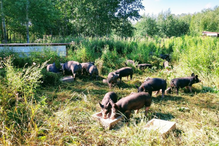 Berkshire pigs on pasture in our open woods