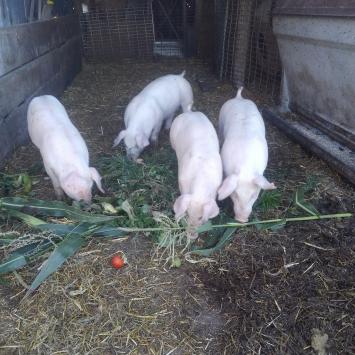 Half a Hog