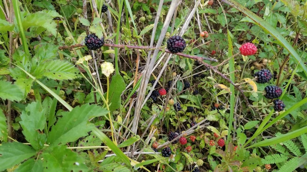 wild-blackberries.jpeg