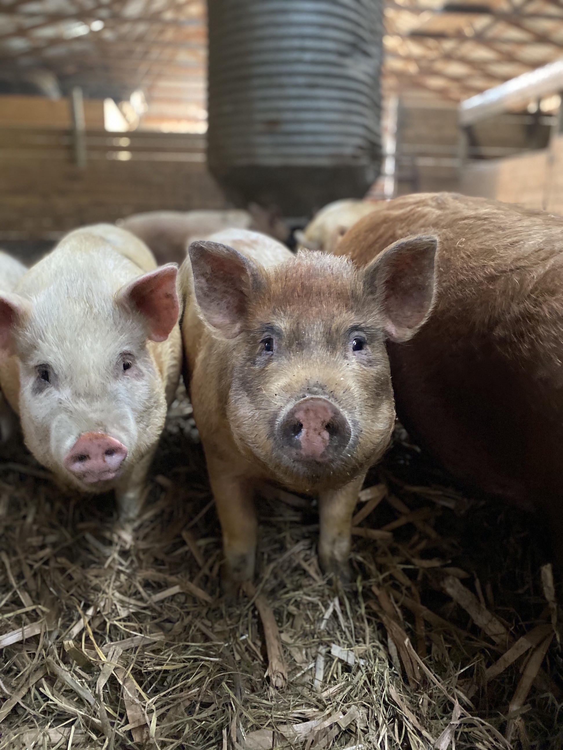Farm Raised Pork