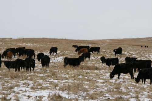 How Our Cattle Spend Their Winter