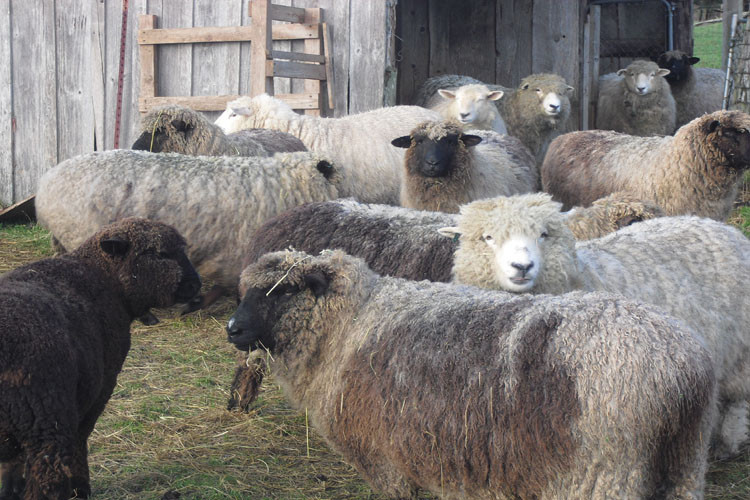 Sheep-Full-Fleece.jpg