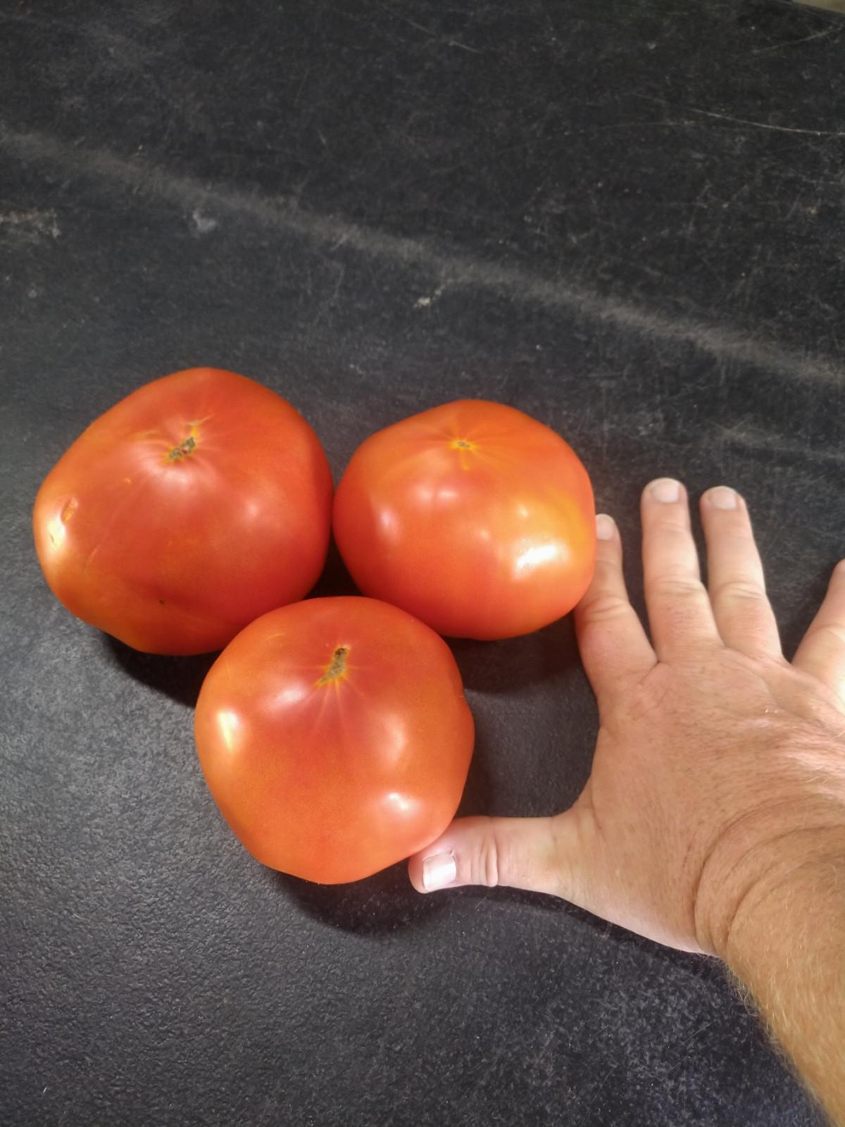 3 extra large vine ripe tomatoes