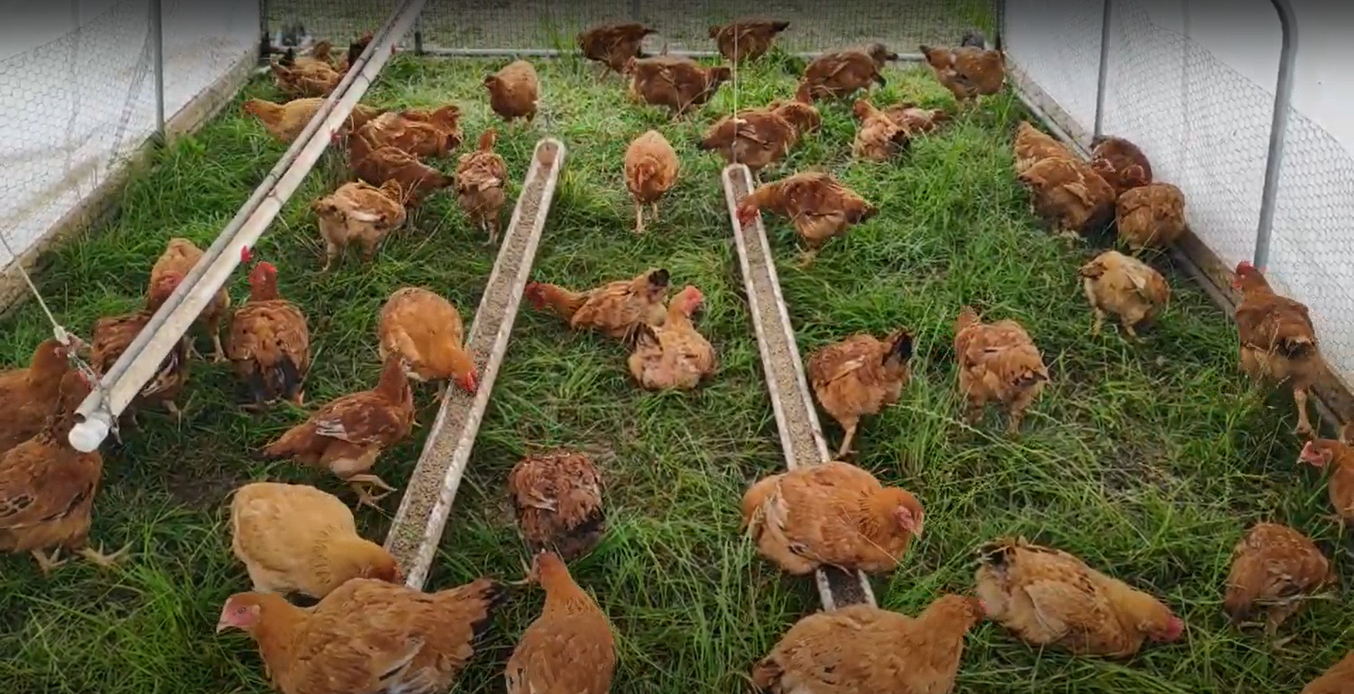 This is a picture of our Lectin-Light Chicken tractor setup