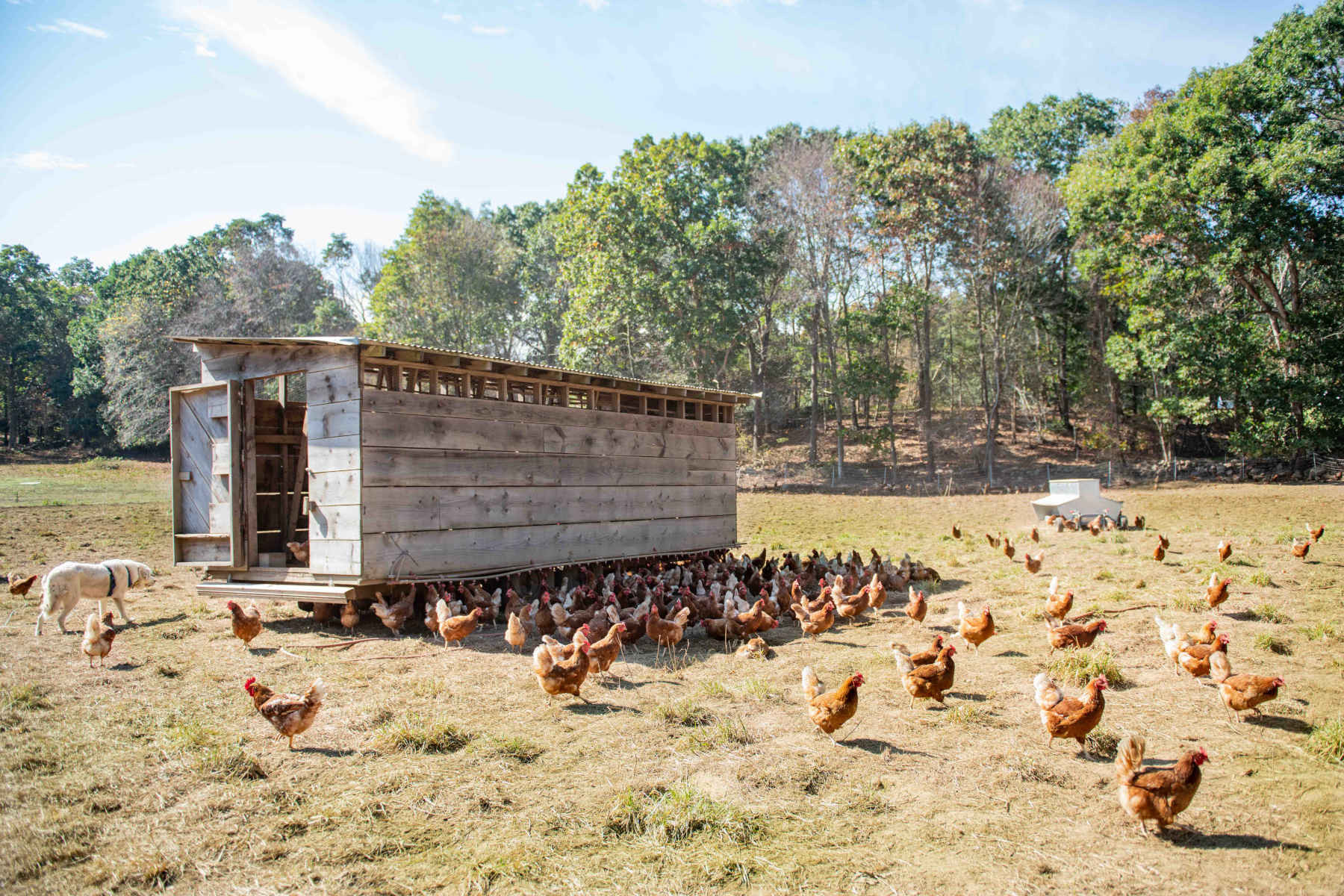 pastured laying hens