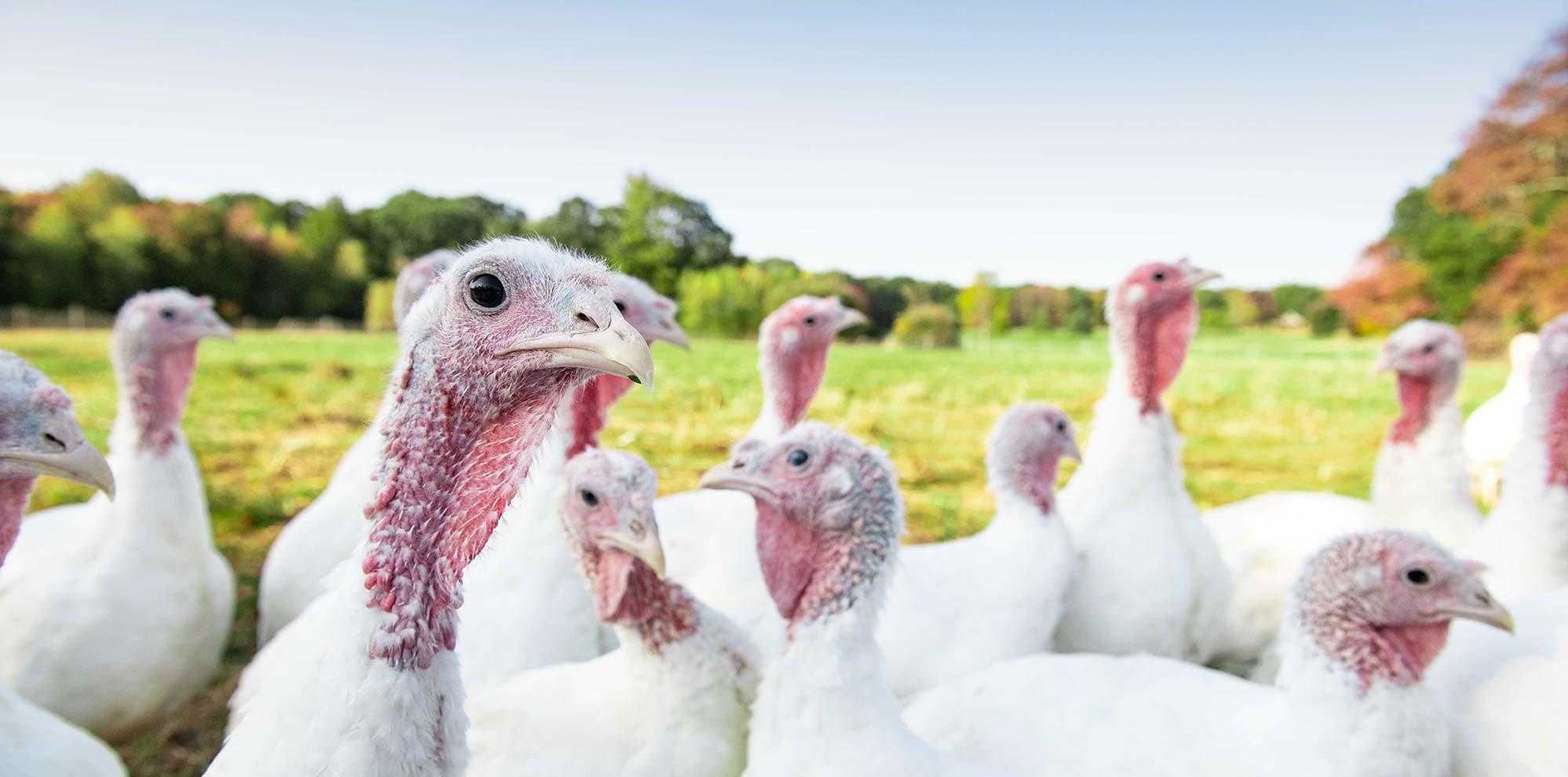 Pastured turkeys at Pat's Pastured